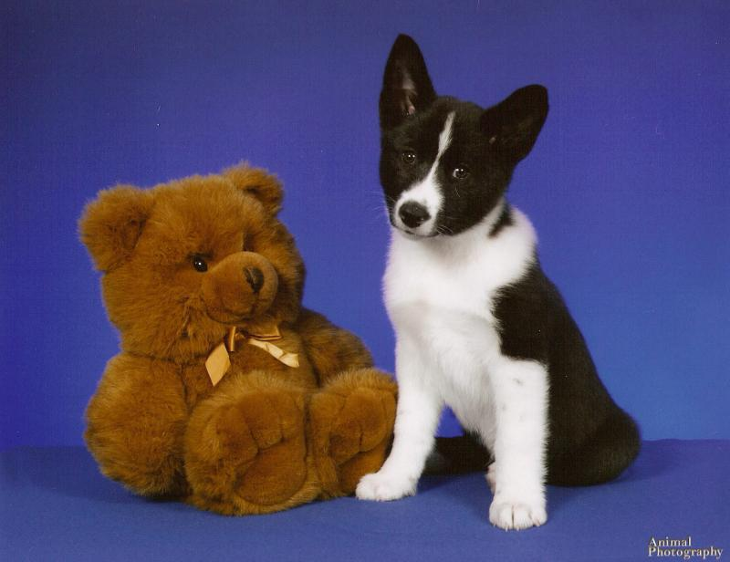 Karelian Bear Puppy
